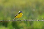 Yellow Wagtail (Motacilla flava)